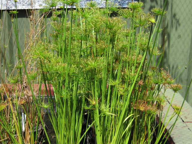Dwarf papyrus wa koi for Koi fish pond plants